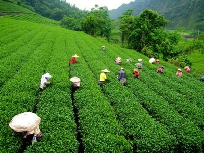 Happy Valley Tea Darjeeling